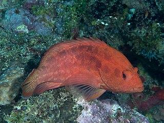 <i>Cephalopholis spiloparaea</i> Species of fish