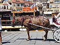 Strawberry roan carriage horse in Chania, Creta.jpg