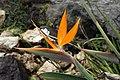 Strelitzia reginae 28zz.jpg