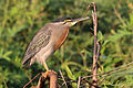 Striated heron (Butorides striata striata).JPG