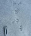 Striped skunk tracks.png