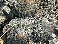 Strombocactus disciformis (5780149161).jpg