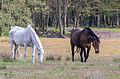 Stukenbrock - 2016-05-01 - Senner Pferde Moosheide (035).jpg