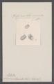 Succinea tumida - - Print - Iconographia Zoologica - Special Collections University of Amsterdam - UBAINV0274 089 03 0005.tif