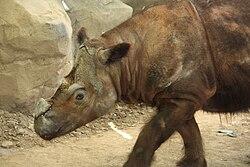 SumatranRhino1 CincinnatiZoo.jpg