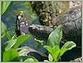 Sumpfschildkröte - Emys orbicularis (43196874972).jpg