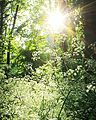 Sunburst in Spring - panoramio.jpg