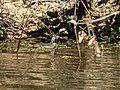 Sungrebe Heliornis fulica female, Rio Claro, Transpantaneira, Poconé, Mato Grosso, BRAZIL.jpg