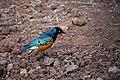 Superb starling, Lake Manyara National Park (2) (28580897985).jpg