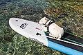 Surfender Hund auf Silba, Kroatien (48670514762).jpg