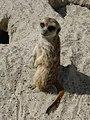 Suricata-suricatta-10.jpg