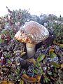 Svalbard Mushroom 2.JPG