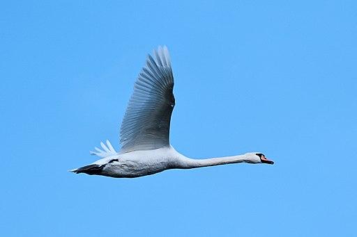 Swan - Lakenheath Fen (31914166443)