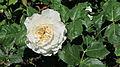 Swan Rose.JPG