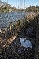 Swan in Pembroke, South Wales (17247898556).jpg