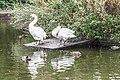 Swans in Herbert Park, Ballsbridge, Dublin (10600368136).jpg