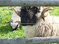 """Swiss sheep in minizoo """"Dobuli"""" - panoramio.jpg"""