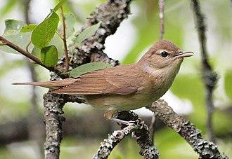 Garden warbler - The nominate subspecies in Sweden