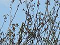 Sylvia nisoria Pirgava grmuša 1.jpg