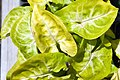 Syngonium podophyllum Golden 0zz.jpg