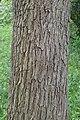 Syringa reticulata kz04.jpg