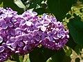 Syringa vulgaris Hugo de Vries 2016-05-20 0936.jpg
