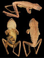 Systematics-of-treefrogs-of-the-Hypsiboas-calcaratus-and-Hypsiboas-fasciatus-species-complex-(Anura-ZooKeys-370-001-g004.jpg