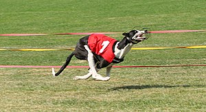 Canine gait - A greyhound at full contraction