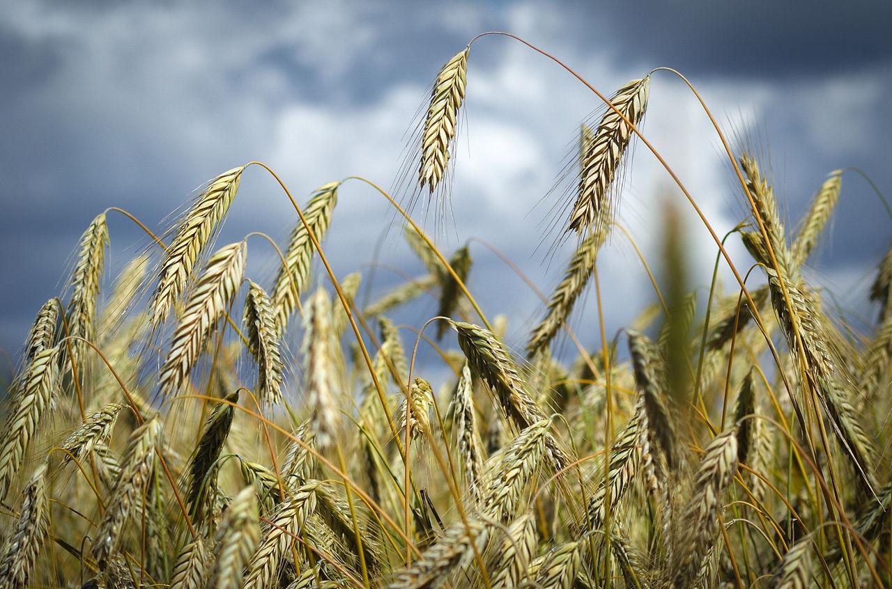 Raž (Secale cereale)