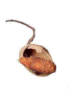 Tamarind fruit.jpg
