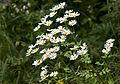 Tanacetum parthenium - Feverfew - Beyaz Papatya 1.jpg