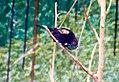 Tangara cyanicollis 11zz.jpg