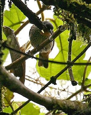 Rufous-throated tanager - Image: Tangara rufigula NW Ecuador 4
