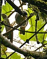Tangara rufigula -NW Ecuador-4.jpg