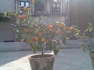 Tangerine - Tangerine or Narangi fruit during winters in Delhi
