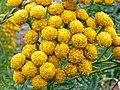 Tansy (Tanacetum vulgare) (9672224848).jpg