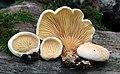 Tapinella panuoides (Batsch) E.-J. Gilbert 349075.jpg
