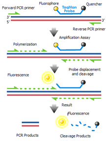 Reverse transcription polymerase chain reaction - Wikipedia