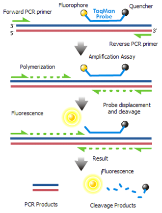 Reverse transcription polymerase chain reaction - Taqman Probes