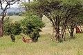 Tarangire 2012 05 27 1950 (7468505360).jpg
