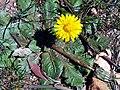 Taraxacum obovatum habitus SierraMadrona.jpg