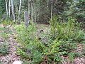 Taxus canadensis Johnson Lk (5097484827).jpg
