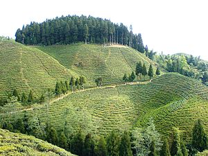 A tea estate in or near West Bengal, India.