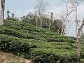 Tea gardens Srimangal Sreemangal Upazila Moulvibazar Maulvibazar Moulavibazar Sylhet 07.jpg