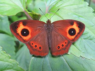 <i>Mycalesis oculus</i> Species of butterfly