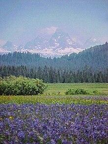 Fiori del genere Camassia e, sullo sfondo, il versante ovest del Teton Range, nella Foresta nazionale di Caribou-Targhee, Idaho.