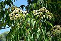 Tetradium daniellii in Jardin des plantes de Montpellier 03.jpg