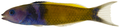 Thalassoma bifasciatum - pone.0010676.g122.png