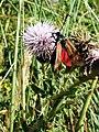 The 6 spot Burnett Moth - geograph.org.uk - 217364.jpg