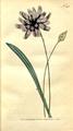 The Botanical Magazine, Plate 293 (Volume 9, 1795).png